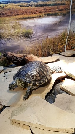 Alton, IL: One of the 3 turtles inside the museum.
