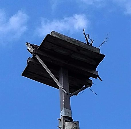 Rock Hall, MD: Nesting osprey keeping an eye on us