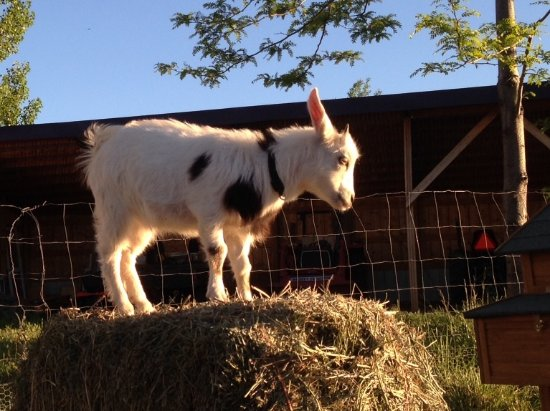 Paonia, CO: Sweet Pea our fainting goat