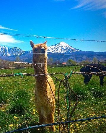Paonia, CO: Bazinga our alpaca...very curious!