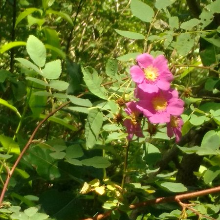 Beaverton, OR: Late June Wild Rose