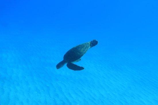 Kapolei, HI: sea turtle seen in water