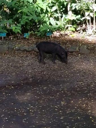 Waimea Valley: Wild pig in park