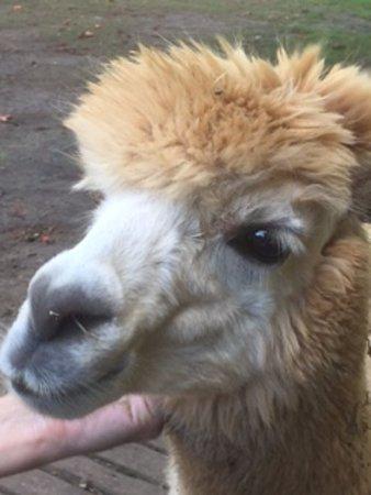 Woombye, Austrália: Friendly alpaca