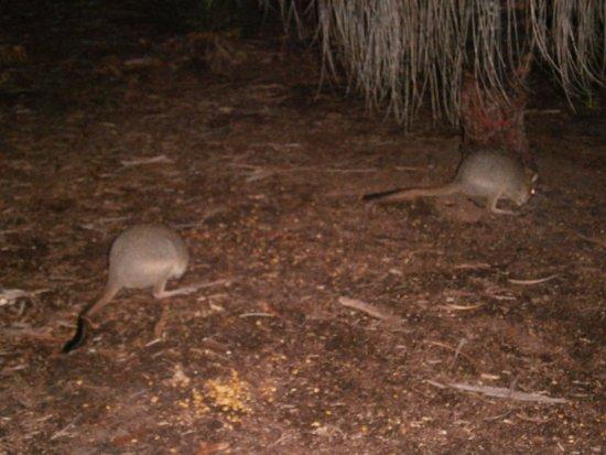 Dunsborough, Avustralya: Woylies