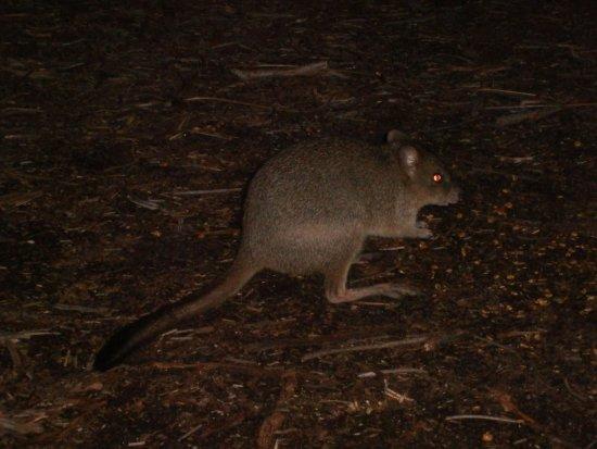 Dunsborough, Avustralya: one lovely looking Woylie