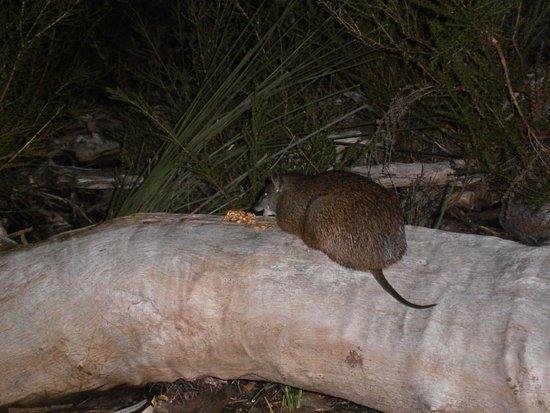 Dunsborough, Avustralya: Bandicoot eating near us