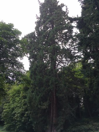 Alnwick, UK: Tallest tree EVER!