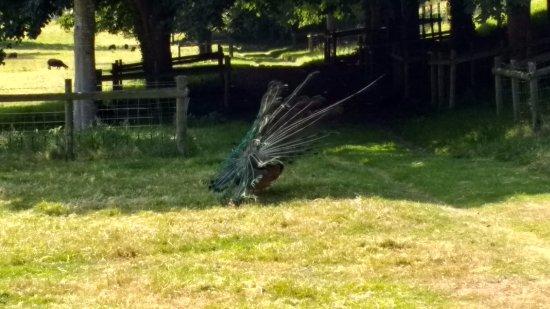 Hartland Abbey & Gardens: Peacock