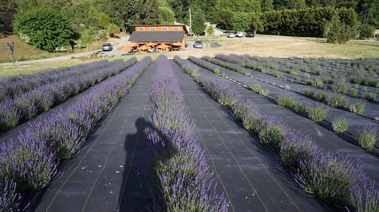 Applegate, OR: Un après midi de juin à la English Lavender Farm