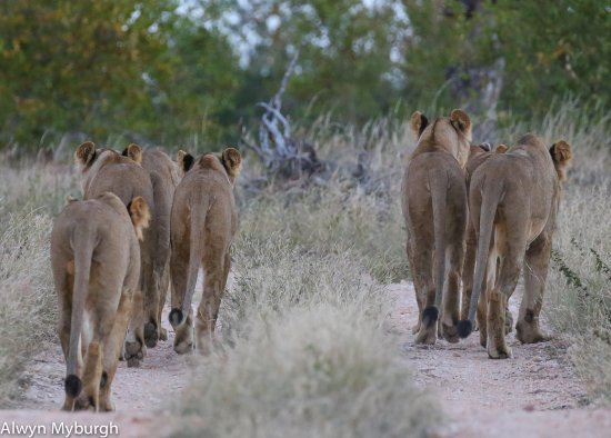 Timbavati Private Nature Reserve, Sudafrica: Moving on after an unsuccessful hunt!