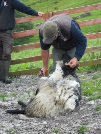 Leenane, Ireland: Tom shearing a sheep