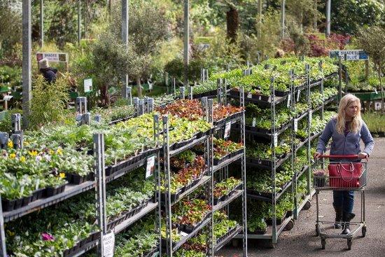 Breage, UK: Bedding plants at Trevena Cross