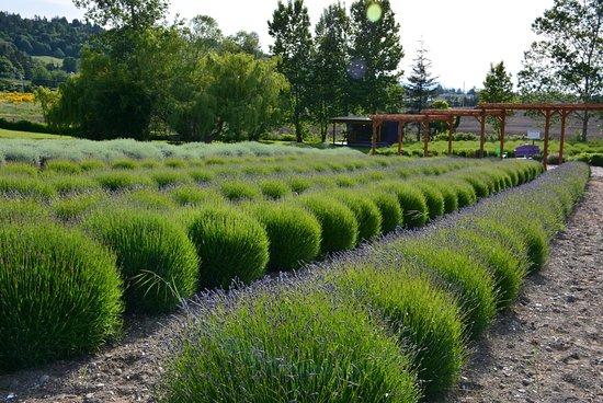 Sequim, WA: Lavender Field