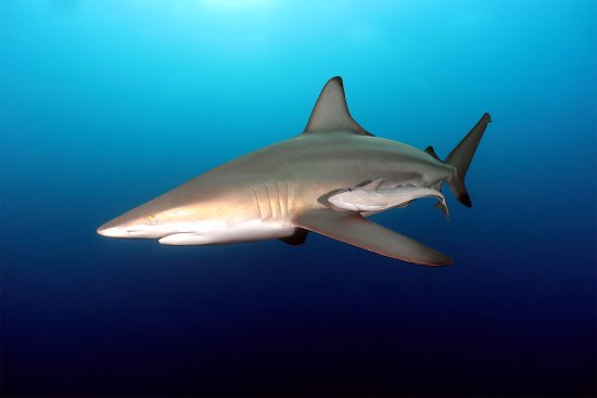 Umkomaas, South Africa: Oceanic Blacktip Shark
