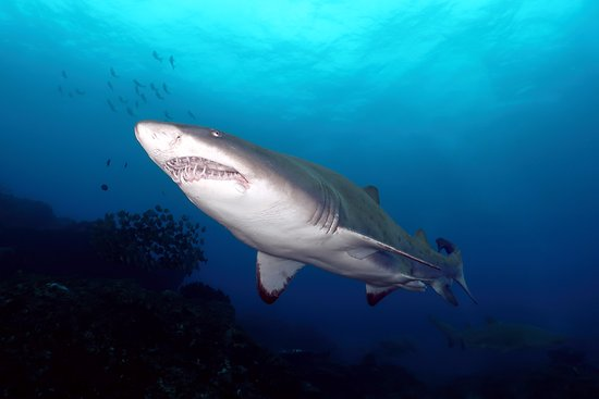 Umkomaas, South Africa: Ragged-Tooth Shark