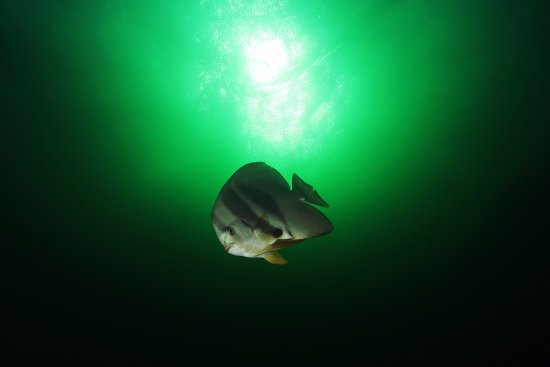 Umkomaas, South Africa: Orbicular Batfish