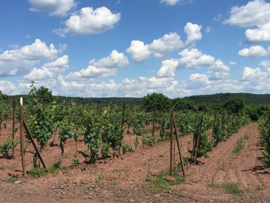 Erwinna, PA: The vines do look well maintained.