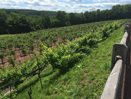 Erwinna, PA: VInes on a slope, approaching the Delaware River.