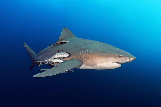 Shelly Beach, Güney Afrika: Bull Shark