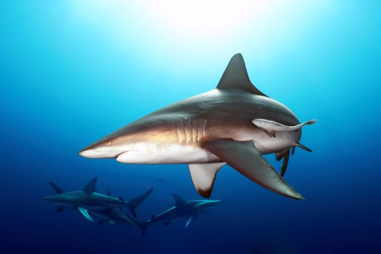 Shelly Beach, Güney Afrika: Oceanic Blacktip Shark