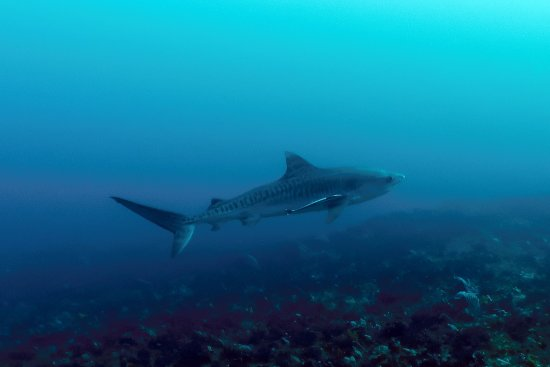 Shelly Beach, Güney Afrika: Tiger Shark