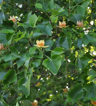Westbury on Severn, UK: Westbury Court Garden's famous tulip tree.