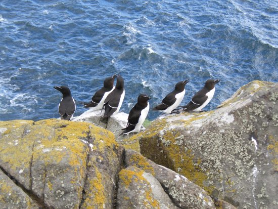 Anstruther, UK: Razorbills