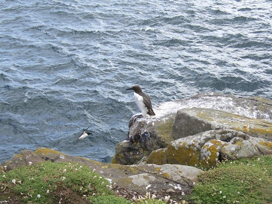 Anstruther, UK: Guillemot