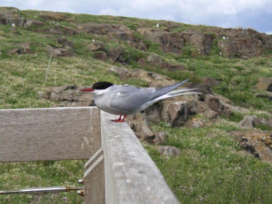 Anstruther, UK: Tern