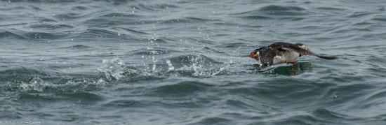 Beaumaris, UK: Puffin in Flight