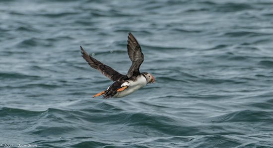 Beaumaris, UK: Puffin In Flight