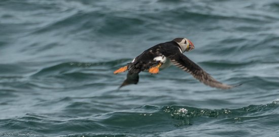Beaumaris, UK: Puffinin Flight