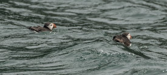 Beaumaris, UK: Puffins