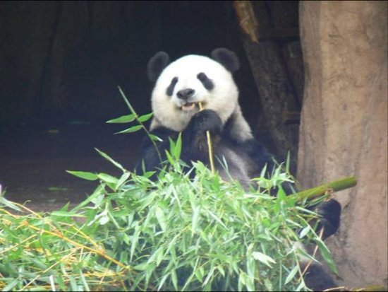 Andy panda enoying a snack picture of san diego zoo san for Andy panda jardin