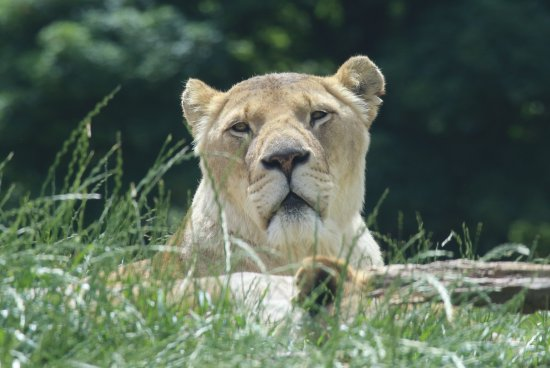 Dunstable, UK: Snoozy lady lion