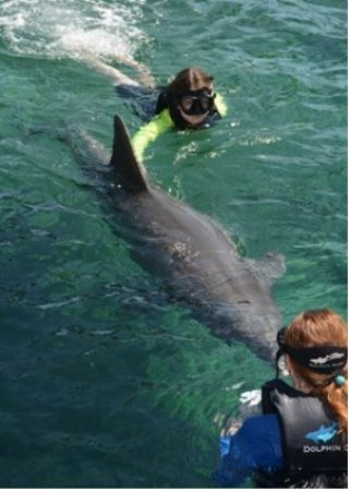 Waikoloa, هاواي: Training dolphin to touch board with nose