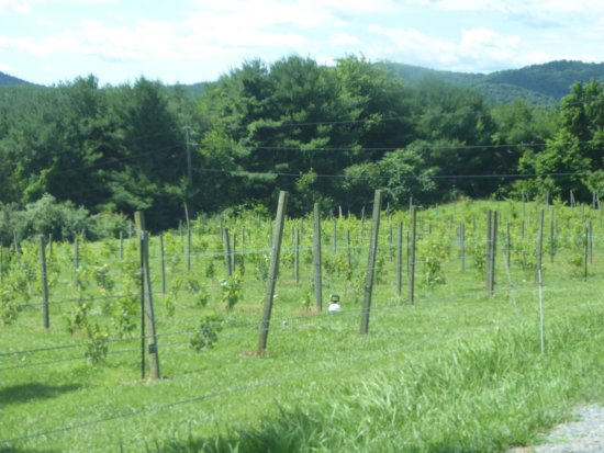 Washington, VA: Vines