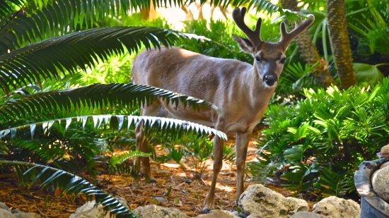 Little Palm Island Resort & Spa, A Noble House Resort: Love the Key Deer!