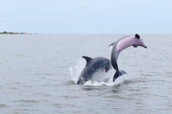 Dolphins in the St. Helena Sound, Edisto Island, SC