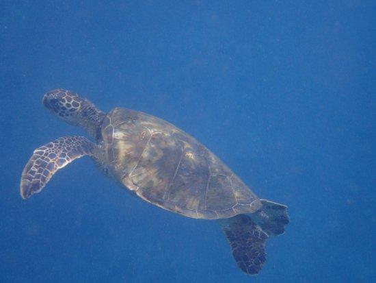 Maalaea, Havaí: Tortugas nadando a centímetros de tí... espectacular!