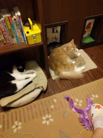 Best Cat Cafe Tokyo Tripadvisor