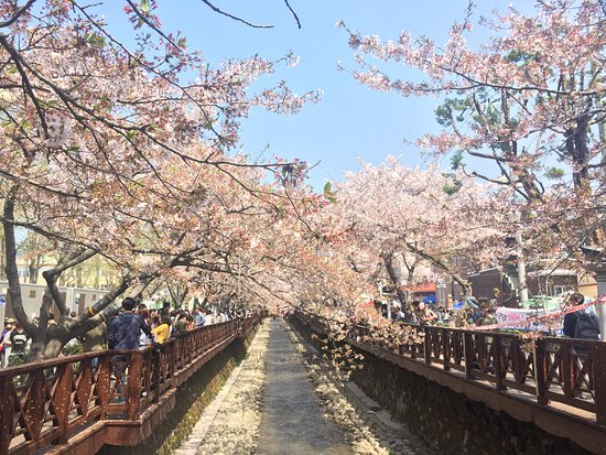 Image result for Jinhae romantic spring