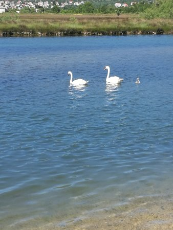 Donji Karin, Croatia: We have swan family