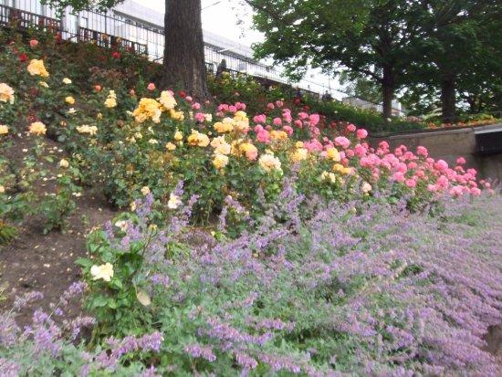 Princes Street Gardens: Roses a plenty