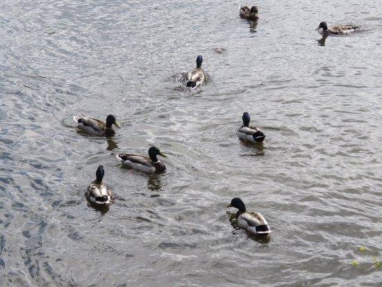 Skerries, Ireland: Ducks