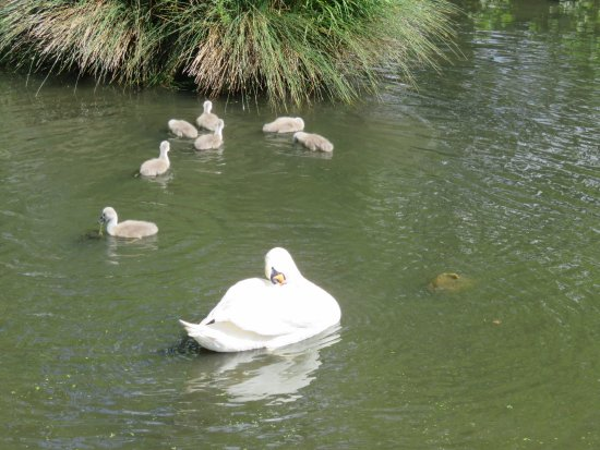 Шхери, Ирландия: Swans relaxing