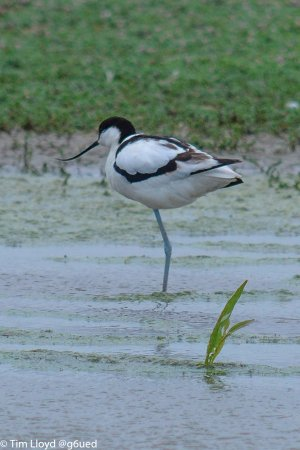 Titchwell, UK: Avocet