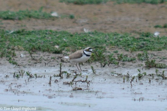 Titchwell, UK: Little Plover