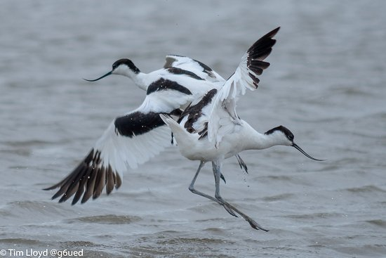 Titchwell, UK: Avocets